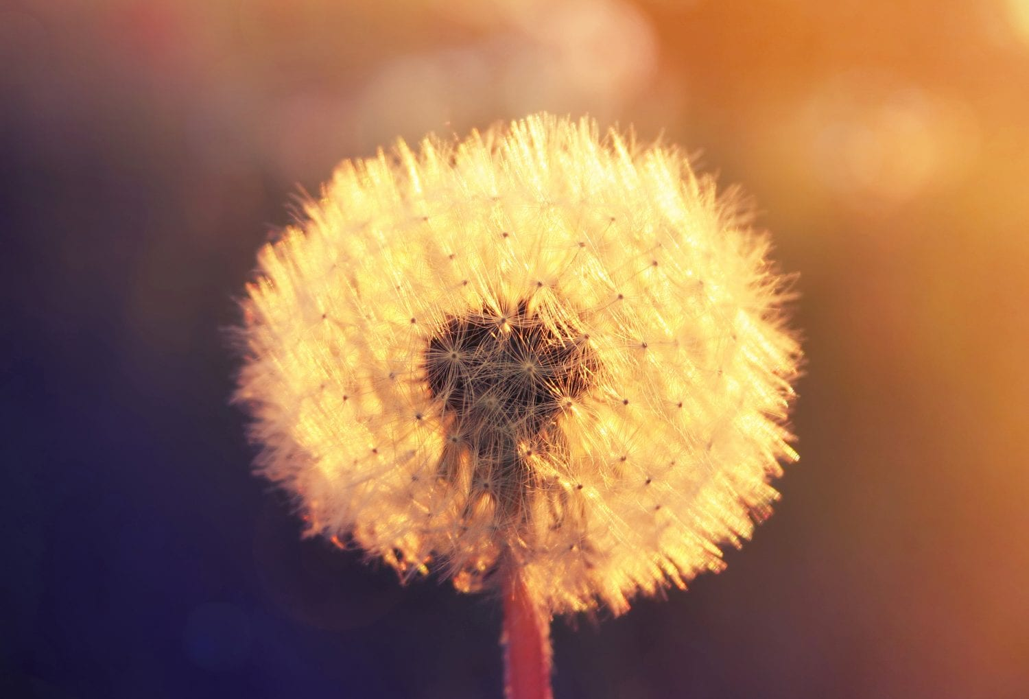 Transformative Dandelion